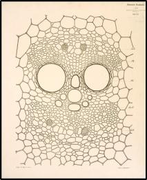 Αγγειώδης δεσμίδα βλαστού Cucurbita