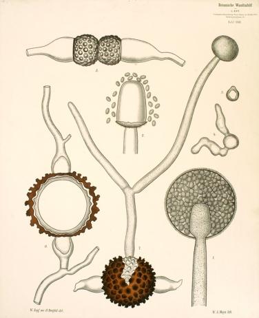 Ανάπτυξη μύκητα Mucor mucedo