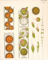 Ανάπτυξη Sphaeroplea annulina