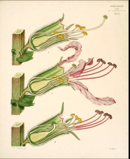 Ανάπτυξη μύκητα Fucus vesiculosus