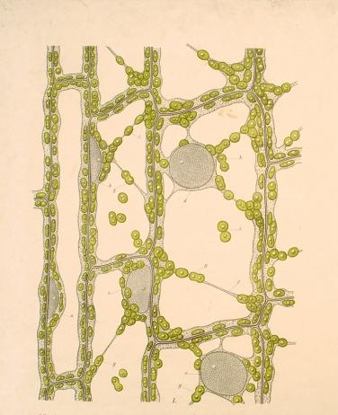 Κύτταρα της επιδερμίδας των φύλλων
