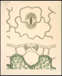 Στόματα Thymus serpyllum