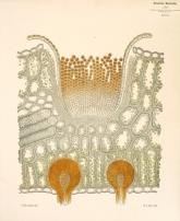 Φύλο Berberis vulgaris στο οποίο έχει αναπτυχθεί ο μύκητας Puccinia graminis